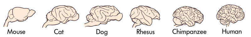 The brains of various animals – mouse, cat, dog, rhesus monkey, chimpanzee and human presented in order of complexity with mouse having the least and human having the most folds and convolutions in the brain.