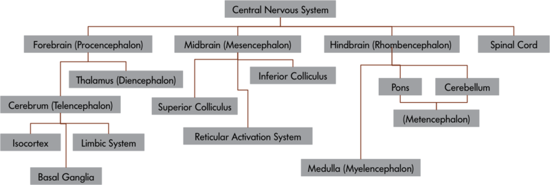 The central nervous system and its components – the CNS is comprised of 4 major distinct components: the Forebrain, the Midbrain, the Hindbrain and the Spinal Cord. The Forebrain, or Prosencephalon is comprised of Thalamus (Diencephalon), Cerebrum (Telencephalon), and the Cerebrum, is in turn comprised of Isocortex, the Limbic System and Basal Ganglia. The Midbrain or Mesencephalon is composed of Superior and Inferior Colliculi and the Reticular Activation System. The Hindbrain, or Rhombencephalon contains Medulla, Pons and Cerebellum with the latter two being a part of the Metencephalon.