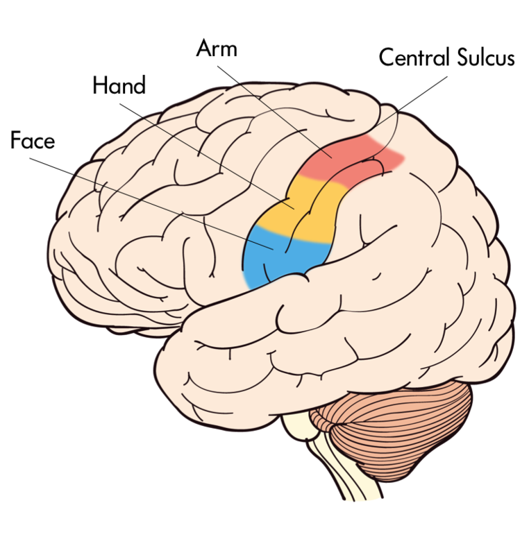 The Primary Somatosensory Cortex provides innervation to face, hand, arm among other body parts.