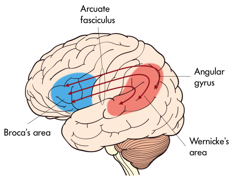 This image depicts Broca's and Wernicke's areas in the brain with Broca's being more anterior and Wernicke's more posterior relative to one another with Arcuate Fasciculus in-between.