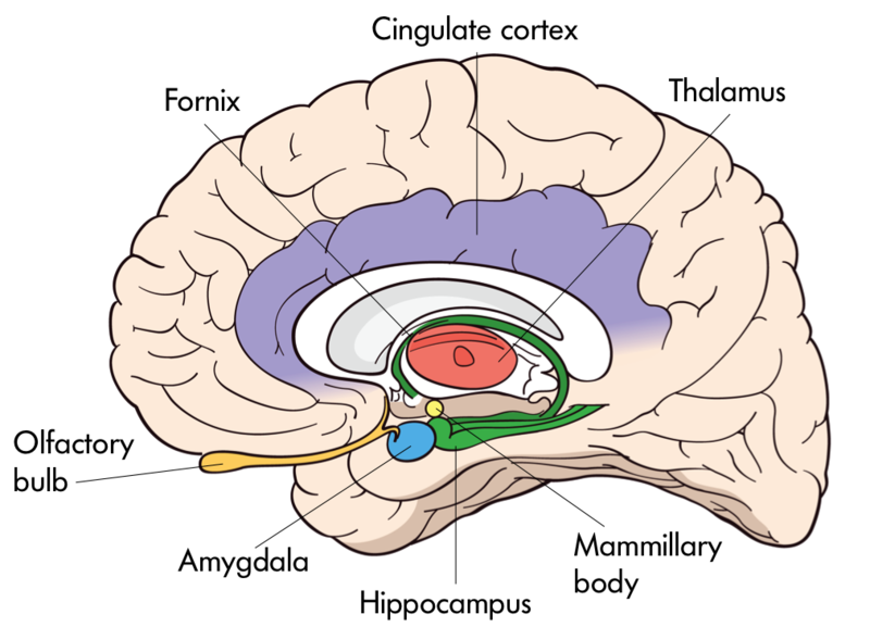 The interior of the brain with organelles including: Olfactory Bulb, Fornix, Cingulate Cortex, Thalamus, Mammillary Body, Hippocampus, and Amygdala.