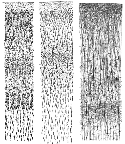 Three drawings depicting hundreds of individual neurons as observed through a microscope.