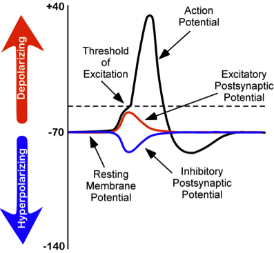 Changes in membrane potentials of neurons. Resting membrane potential is at -70 mV, inhibitory postsynaptic potential is a -80 mV, excitatory postsynaptic potential reaching the threshold of excitation at -50 mV, and completely depolarizing at +40 mV.