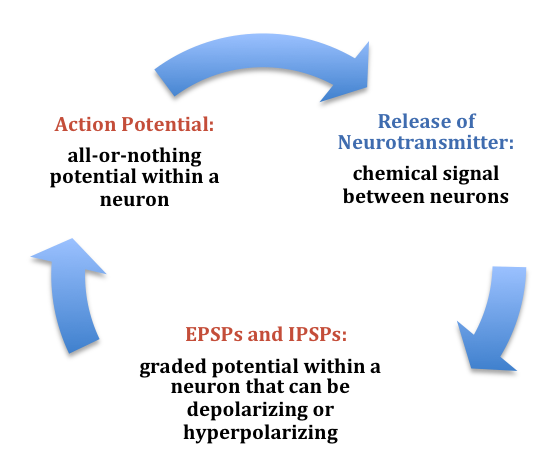 Summary of the electrochemical communication within and between neurons: Action potential (all-or-nothing potential within a neuron) leads to Release of neurotransmitters (chemical signals between neurons) which in turn leads to EPSPs and IPSPs (excitatory postsynaptic potentials and inhibitory postsynaptic potentials which are graded potentials within a neuron that can be depolarizing and hyperpolarizing).