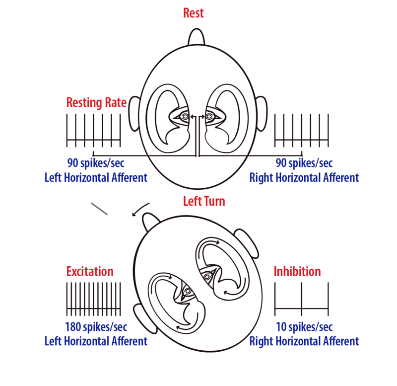 Illustration of excitation of receptors on the left and inhibition of receptors on the right when turning head to the left.