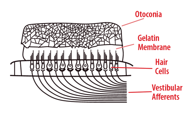 Anatomy of otolith receptors.