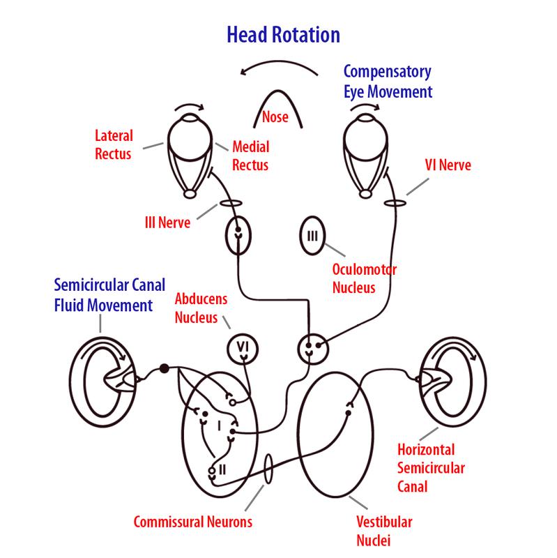 The Vestibular System   Noba