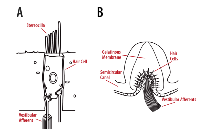 Receptor hair cells and semicircular canal structure.
