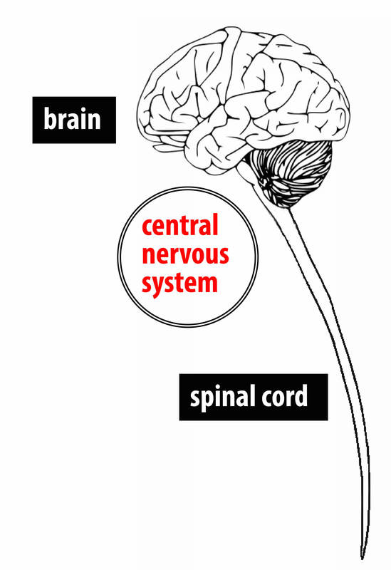 A simple diagram showing the brain and spinal cord.
