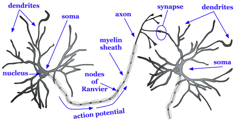 Diagram of two neurons with parts labeled - dendrites, nucleus, soma, axon, (pathway of) action potential, nodes of Ranvier, myelin sheath and synapse.