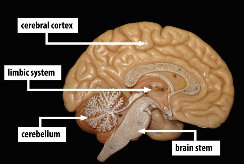 A model shows a cross section of the human brain with areas labeled - cerebral cortex, limbic system, cerebellum, and brain stem