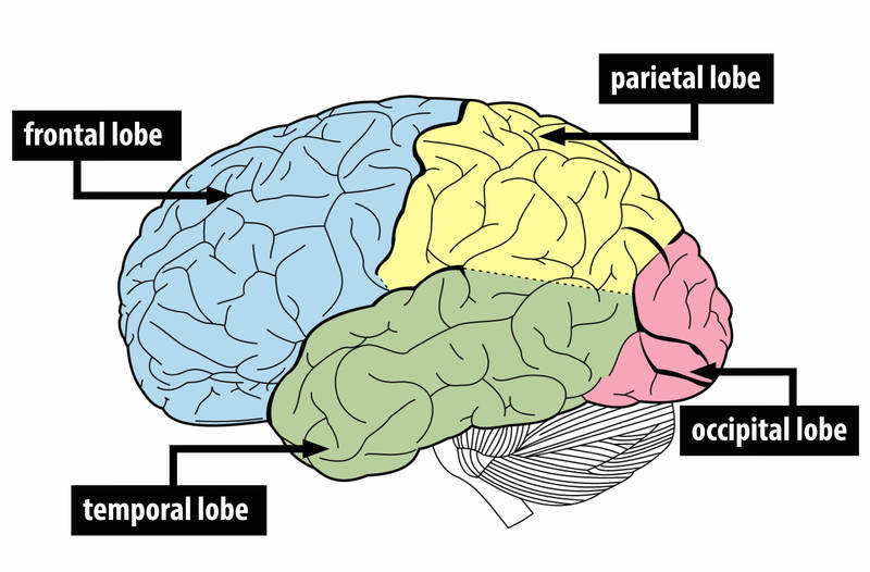 An illustration of the brain showing the four lobes - frontal lobe, temporal lobe, parietal lobe, and occipital lobe.