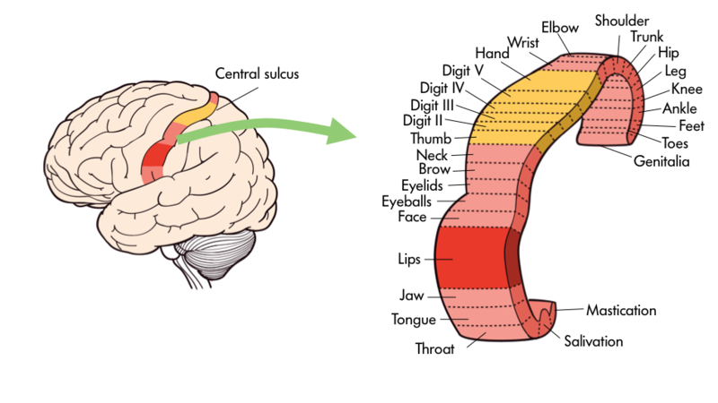 An illustration shows the primary motor cortex and is labeled from end to end with various body parts/reflexes - mastication, salivation, throat, tongue, jaw, lips, face, eyeballs, eyelids, brow, neck, thumb, digit II, digit III, Digit IV, digit V, hand, wrist, elbow, shoulder, trunk, hip, leg, knee, ankle, feet, toes, and genitalia.