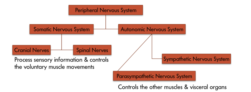 A chart displays the parts of the Peripheral Nervous System. To the left is the Somatic Nervous System, made up of cranial nerves and spinal nerves. This system processes sensory information and is responsible for voluntary muscle movements. To the right is the Autonomic Nervous system, made up of the Sympathetic Nervous System and the Parasympathetic Nervous System. This system controls other muscles and visceral organs.