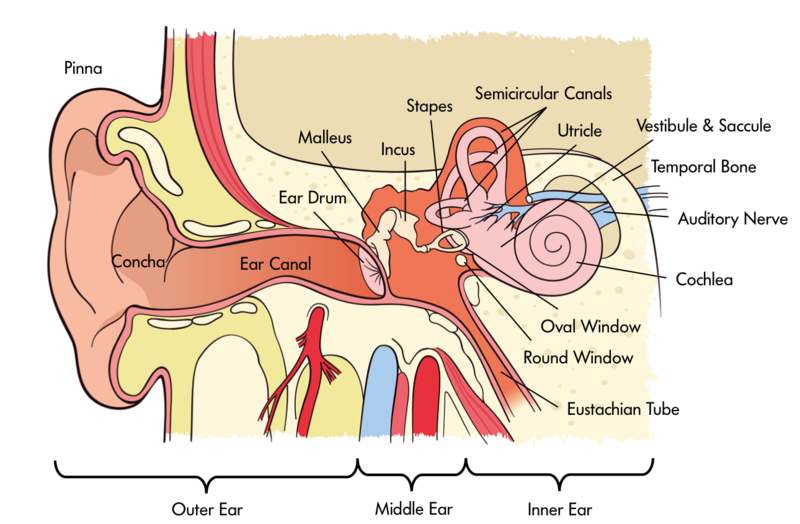 This figure depicts a diagram of the human ear. It labels the various pieces of anatomy associated with hearing including-- but not limited to-- the ear drum, cochlea, and auditory nerve.