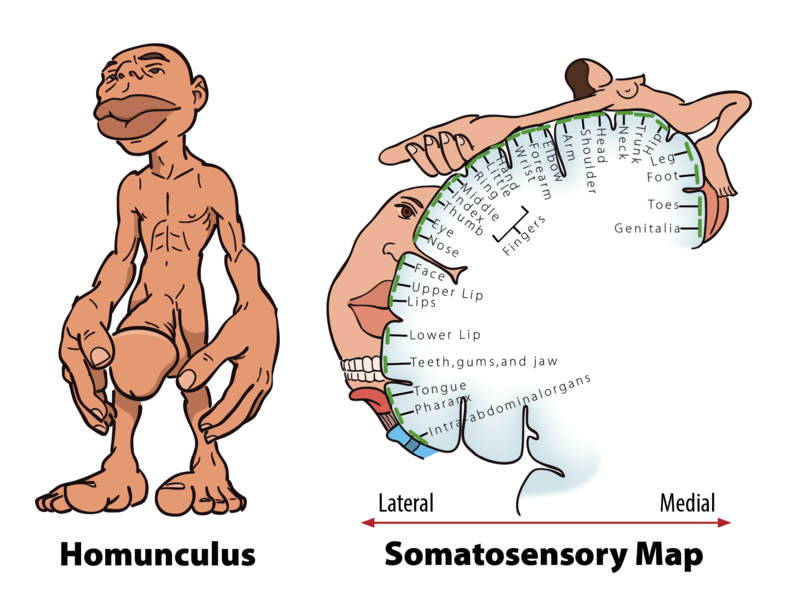 Diagrams of the Homunculus and Somatosensoy Map described in the text.