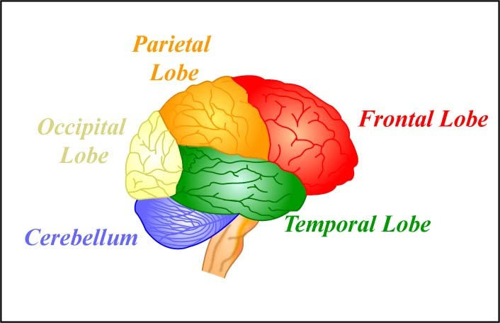 The four lobes of the brain and the cerebellum.