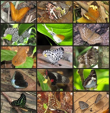 15 types of butterflies native to Kalimantan (Borneo).