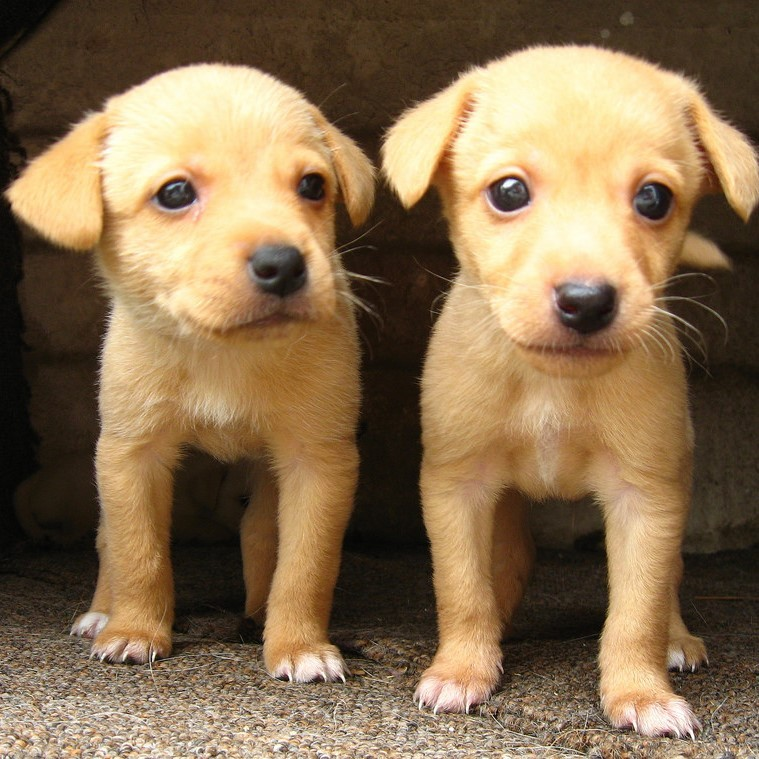 Two nearly identical puppies stand side by side.