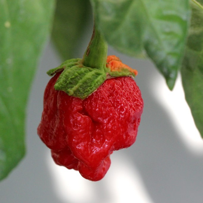 A bright red ghost pepper hangs from a pepper bush.
