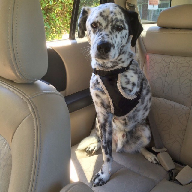 A dog that is missing one of it's front legs sits in the backseat of a car.