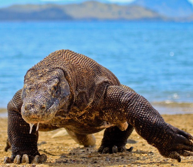 A Komodo Dragon walking across a beach.