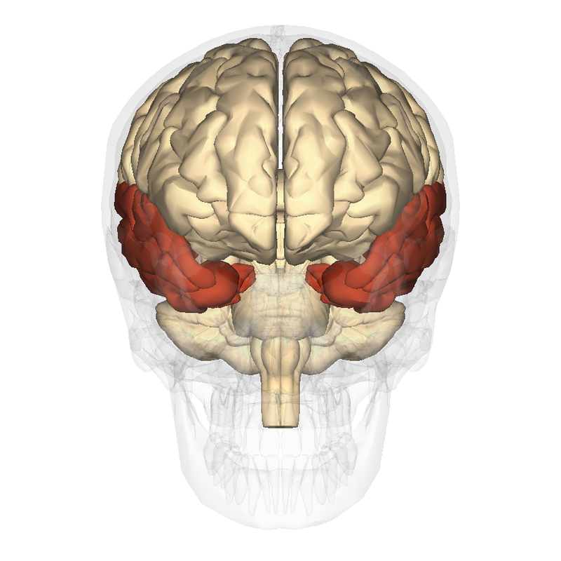 Model of the human brain with temporal lobes highlighted.