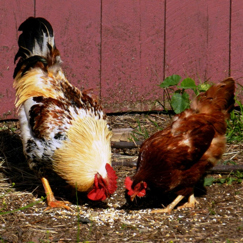 A large multicolored rooster and a smaller hen with only brown feathers eating corn in the yard.