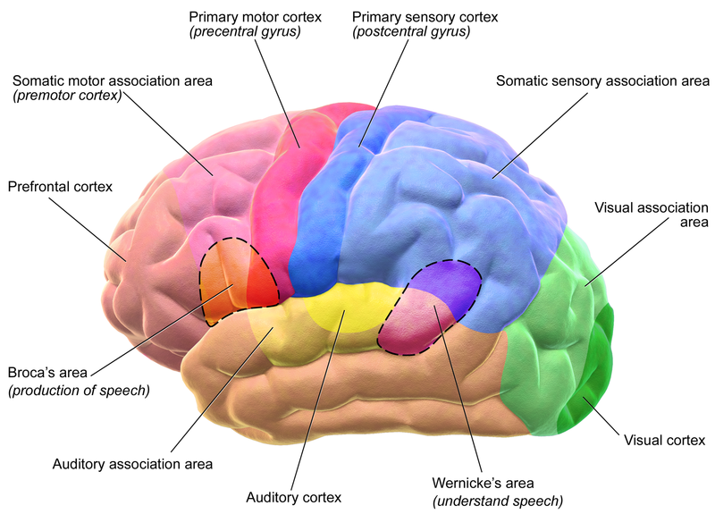 Motor and Sensory Regions of the Cerebral Cortex.