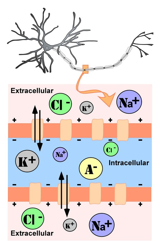 Representation of ion concentrations inside (intracellular) and outside (extracellular) a neuron in the unmylenated segment of the axon. With anions and potassium in higher concentrations inside the neuron and sodium and chloride in higher concentrations outside the neuron.