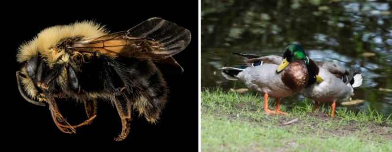 An intersexual two-spotted bumble bee and two mallard ducks.