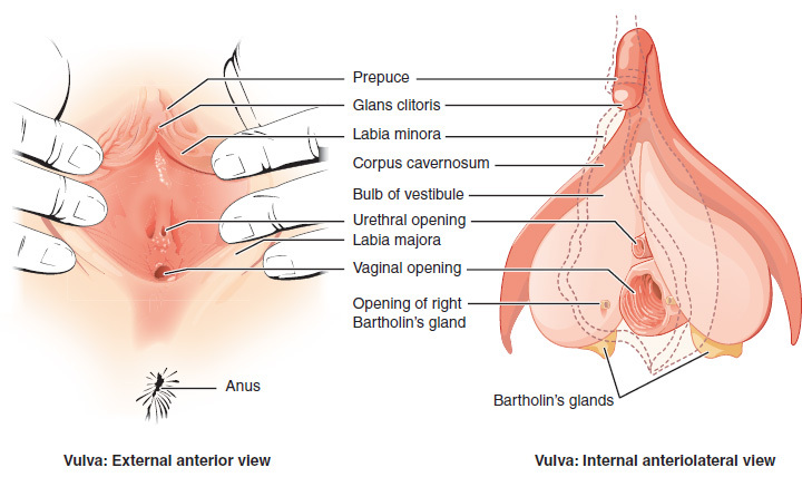 A diagram showing the external anterior and internal anteriolateral view of the vulva.