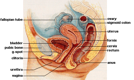 A cross-sectional diagram of the female internal sex organs.