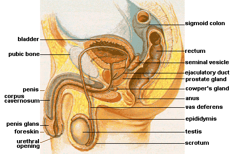 A cross-sectional diagram of the male internal sex organs.