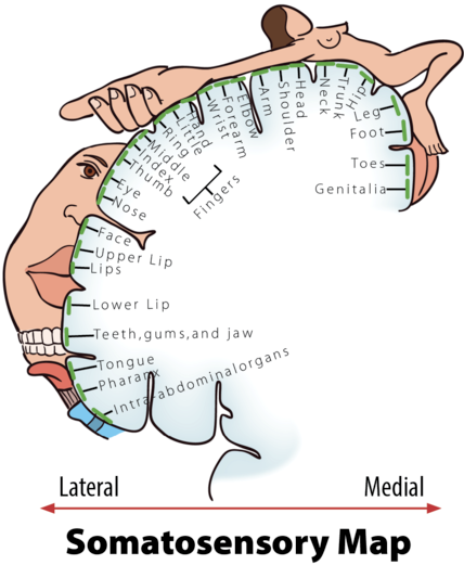 A somatosensory map showing the somatosensory cortex in the brain and the areas in the human body that correspond to it - they are also drawn in proportion to the most sensitive or the most innervated parts of the body. For example, lips, hands, and genitals are disproportionally large showing that they are especially sensitive.